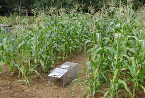 Corn With Trap August